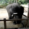 Dancing Baby Elephant Plays The Harmonica