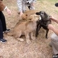 Lions and Dog Friendship