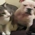 Epic Cat Knockdowns English Bulldog