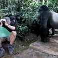 Gorillas First Met a Human