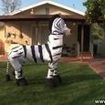 Funny Dancing Zebra