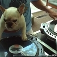 Awesome French Bulldog DJ