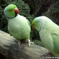 Two Sweet Talking Parrots