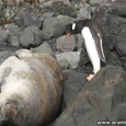 Penguin Jumps on a Seal
