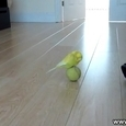 Parrot Playing With a Ball