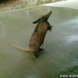 Armadillo Desperate For Water