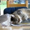 Dove vs Cat