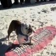 Surfing Bulldog