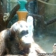 Cute Spitting Orangutan