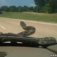 Snake Slithered Up Windscreen