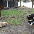 Food Defender! Puppy vs Ducks
