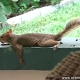 Funny Squirrel Planking