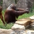 Orangutan Cools Off Like A Human