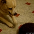 What Happens When A Dog Meets A Hedgehog