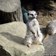 Meerkat Trying to Stay Awake