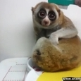 Cute Slow Loris Getting Brushed