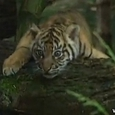 Awesome Tiger Babies Born at Sydney Zoo