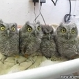 Incredibly Cute Baby Owls