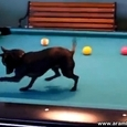 Little Dog Will Learn You How to Play Pool