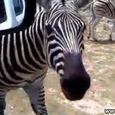 Funny Screaming Zebra