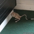 Cute Little Playing Jerboa