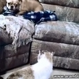 Cat vs Bulldog