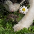 Kass ja hiir