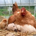 Kana ja koer