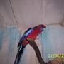 Rosella papagoid